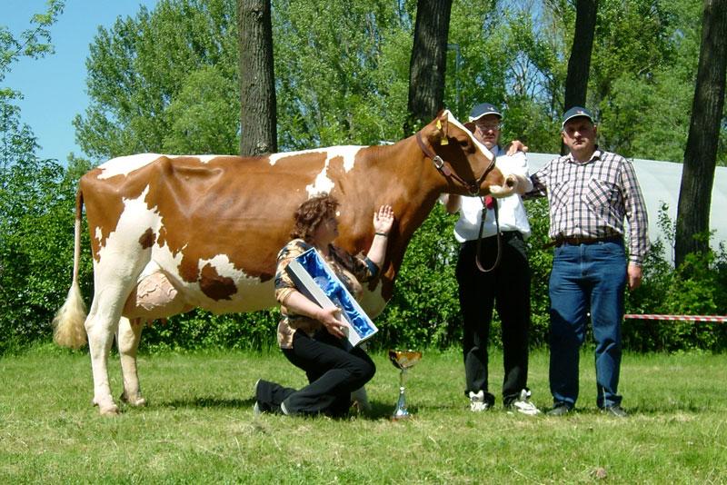 Meclovská zemědělská a.s.   Kráva